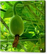 Winter Melon In Garden 3 Acrylic Print