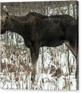 Winter Moose Acrylic Print
