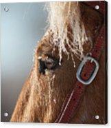 Winter Mustang Eye Acrylic Print