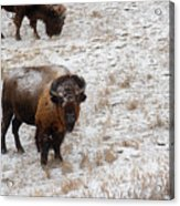 Winter Pasture Acrylic Print