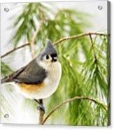 Winter Pine Bird Acrylic Print