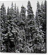 Winter Pine Spires Acrylic Print