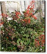 Winter Red Berries Acrylic Print