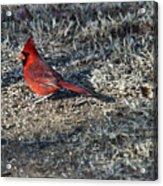 Winter Redbird Acrylic Print