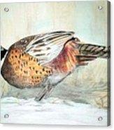 Winter Ringneck Acrylic Print