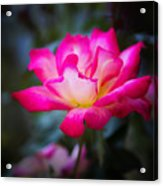 Winter Rose Acrylic Print