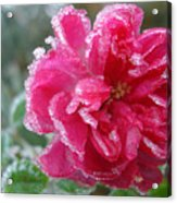 Winter Rose Acrylic Print