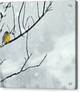 Winter Snow With A Touch Of Goldfinch For Color Acrylic Print by Laura Mountainspring