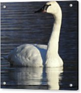 Winter Swan Acrylic Print