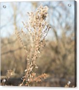 Winter Weeds Acrylic Print