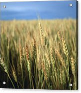 Winter Wheat In Linn, Kansas Acrylic Print