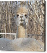 Winter White Alpaca Acrylic Print