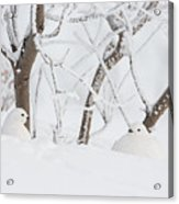 Winter Whites Acrylic Print