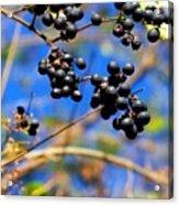 Winterberries II Acrylic Print