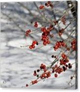 Winterberries Acrylic Print