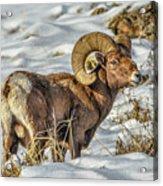 Wintering Bighorn Acrylic Print