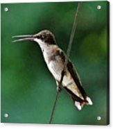 Wire Walker Young Male Ruby-throated Hummingbird    Acrylic Print