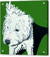 Wirehaired Jack Russell Terrier Acrylic Print