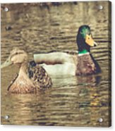 Wisconsin Ducks Acrylic Print