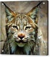 Wise Bob Cat Acrylic Print