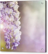 Wisteria Flowers In Sunlight Acrylic Print