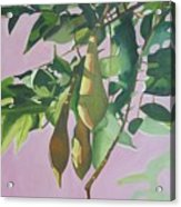 Wisteria Pod On Pink Background Acrylic Print