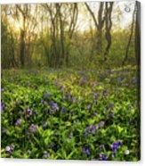Wistow Wood Bluebells 1 Acrylic Print