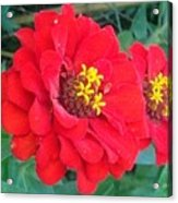 With Beauty As A Pure Red Rose Acrylic Print