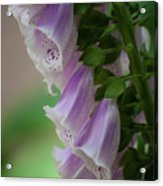 With Bells On Acrylic Print