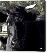 With Love - Bull Friend Acrylic Print