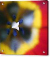 Within The Tulip Acrylic Print