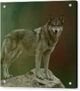 Wolf 0n Look-out Acrylic Print