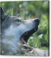 Wolf Bugged Acrylic Print