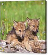 Wolf Cubs On Log Acrylic Print