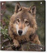Wolf Face Acrylic Print