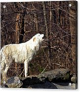 Wolf Howling In Forest Acrylic Print