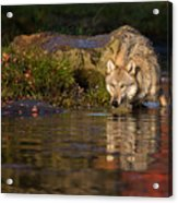 Wolf In Pond Acrylic Print
