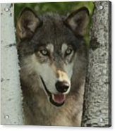 Wolf In The Birch Trees Acrylic Print