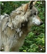 Wolf In The Woods Acrylic Print by Donna Parlow
