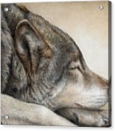 Wolf Nap Acrylic Print