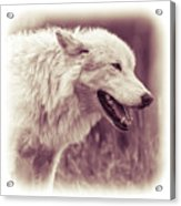 Wolf Of Yellowstone National Park Acrylic Print