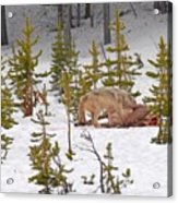 Wolf On Elk Kill Acrylic Print