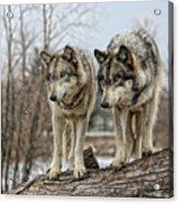 Wolf Pair Acrylic Print