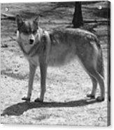 Wolf Pride Acrylic Print