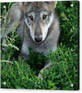 Wolf Pup Portrait Acrylic Print