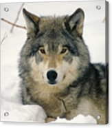 Wolf Rests In Snow Acrylic Print