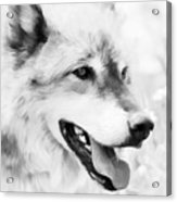 Wolf Smiling Black And White Acrylic Print