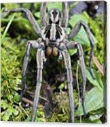 Wolf Spider Hogna Sp Male, Mindo Acrylic Print