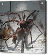 Wolf Spider Sunlight Acrylic Print