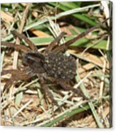 Wolf Spider With Babies Acrylic Print